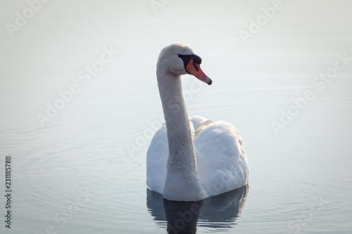 Poster Blanc Pretty swan on a lake