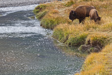Two Buffalos Near The River In Lamar Valley, Yellowstone National Park