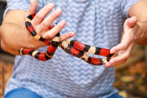 Boy with snakes. Man holds in hands reptile Milk snake Lampropeltis triangulum Arizona kind of snake. Exotic tropical cold-blooded animals, zoo. Pets at home snakes. Poisonous and non poisonous snake.