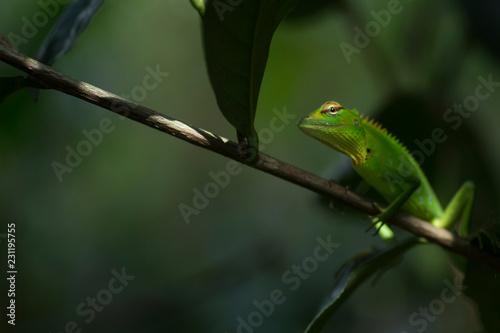 Aluminium Prints Chameleon Green Garden Lizard