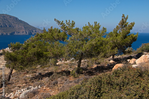 Fotobehang Cappuccino Pine tree on Karpathos in Greece