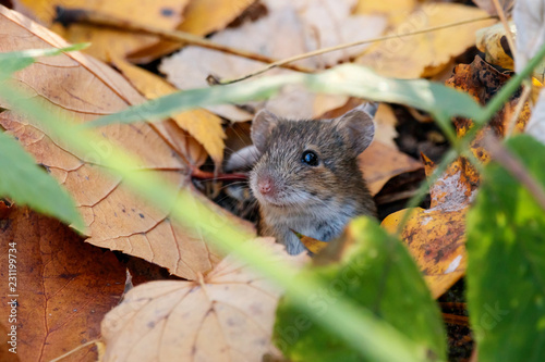Striped field mouse sitting on ground in grass and foliage. Cute little animal in wildlife.
