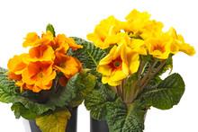 Yellow And Orange Primroses On White