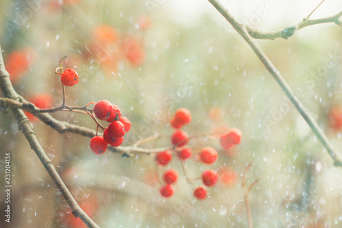 ash berry blurred abstract autumn or winter background Canvas Print