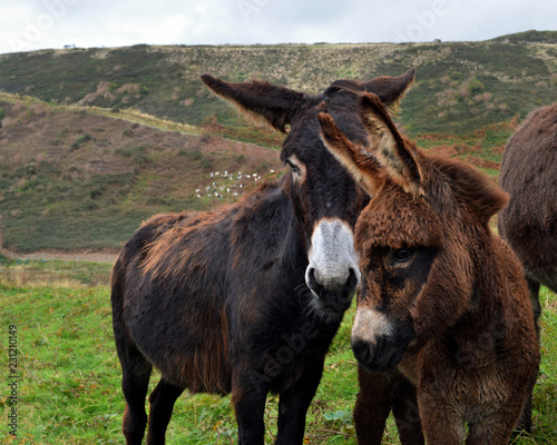 Keuken foto achterwand Ezel A mother donkey and her baby donkey in a field, in the countryside