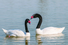 A Black Necked Swans (Cygnus Melancoryphus) Swimming At An Oasis Lagoon Al Qudra Lakes In The Desert In The United Arab Emirates In Arabia.