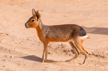 The Patagonian Mara (Dolichotis Patagonum) Oasis Lagoon Al Qudra Lakes In The Desert In The United Arab Emirates In Arabia.