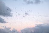 Różowe niebo z chmurami podczas zachodu słońca z wielu ptaków latających - 231211377