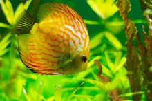 Exotic Yellow Fish In The Water