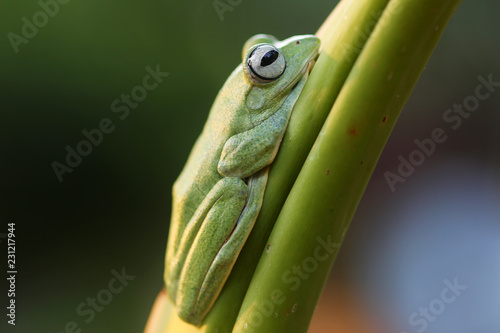 Wallace's flying frog, frogs, tree frogs, close up, amphibians, animal, animalwildlife, asia,