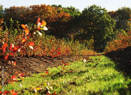 Foto  Agricultural utility path in a blueberry plantation in the autumn