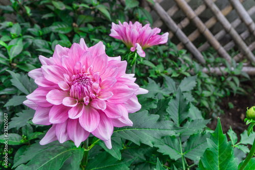 Foto op Plexiglas Dahlia Pink dahlia flower beautiful petal blooming at dahlia Japan garden park in autumn winter,beautiful isolated background