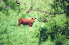 Brown Cow In Green