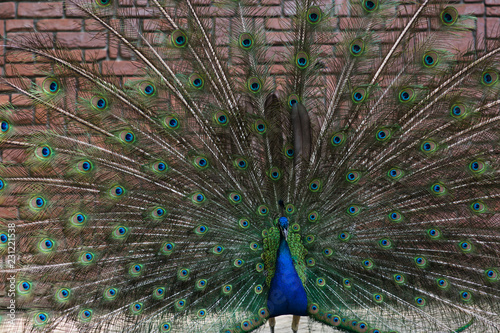 Peacock portrait with feathers open