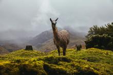 Llama Posing At Highlands