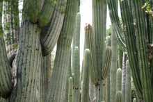 Cactus, Cluster.