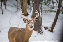 Red Or Spotted Deer In Deep Mid Winter, North Quebec, Canada.