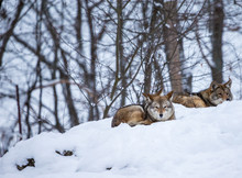 Pack Of Coyotes Resting In The...