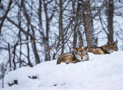 Tablou Canvas Pack of coyotes resting in the snow in north Quebec, Canada