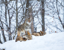 Pack Of Coyotes Resting In Mid...