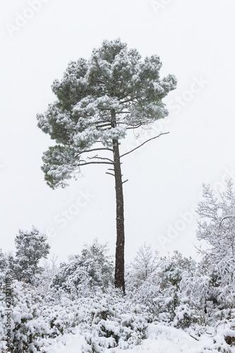 Fotografie, Tablou  Pino cargado de nieve y nevando, aislado sobre cielo blanco nublado, entre ramaj