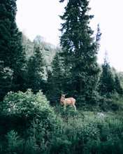A Deer In The Middle Of The Forest