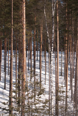pine forest in winter, tall slender trees