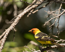 Western Tanager Amongst Branches