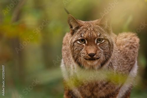 Spoed Foto op Canvas Lynx Luchs im Herbstwald