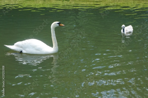 Fotografie, Obraz  Mute swan (Cygnus cygnus) and cygnet in a pond in the garden at Blair Castle, a 13th-century stronghold in the Scottish Highlands