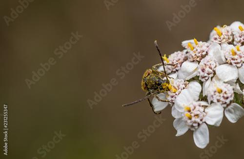 Obraz na plátne Long horn beetle covered in pollen