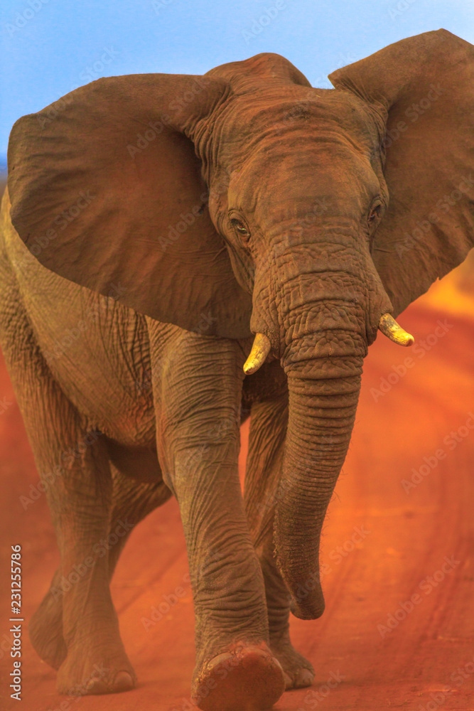 Front view of adult african Elephant, part of the Big Five, walking on red sand road in Madikwe Game Reserve, South Africa, near Botswana border and Kalahari Desert. Game drive safari. Vertical shot.