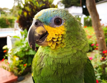Amazona Aestiva (green Parrot With Yellow Cheeks) Of Beautiful Plumage And Blue Forehead On A Tropical Estate