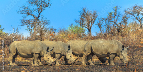 Side view of four white rhinos lined up in the savannah of Hluhluwe-Imfolozi Park, South Africa, known as the hunting reserve of Umfolozi, the oldest nature reserve established in Africa. Blue sky.