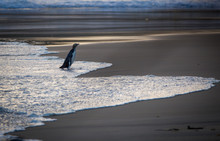 A Penguin Returns From The Sea And Walks Up The Beach To Its Nest At Sunset, Dunedin, New Zealand