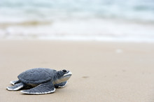 Turtle Baby On The Beach Copy Space