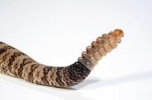 Rassel Der Prärie-Klapperschlange (Crotalus Oreganus Lutosus) - Great Basin Rattlesnake