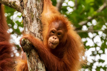 Juvenile Orangutan At Semenggo...