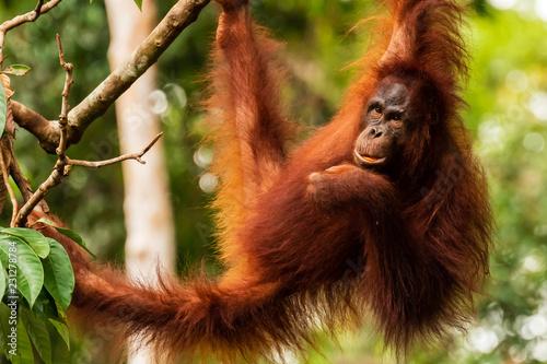 Photo  Juvenile Orangutan at Semenggoh in Sarawak, Malaysian Borneo