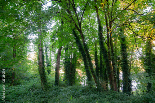 Fotografie, Obraz  Sun shining through the canopy of green leaves in the evening sun