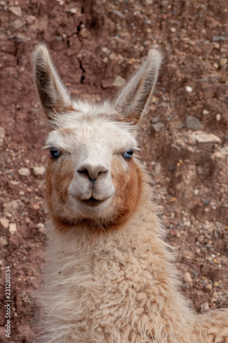 Spoed Foto op Canvas Lama Llama with blue eyes portrait, Peru, South America
