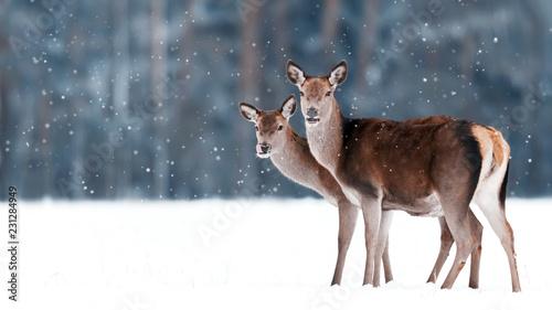 Poster Cerf Group of beautiful female graceful deer on the background of a snowy winter forest. Noble deer (Cervus elaphus). Artistic Christmas winter image. Winter wonderland.