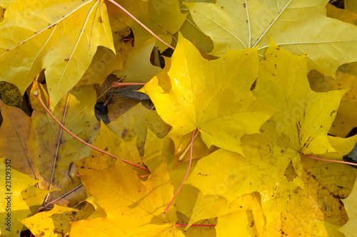 Autumn landscape. Golden leaves background