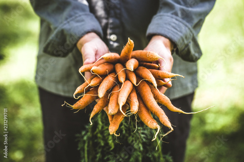 Valokuvatapetti Fresh carrots in hands