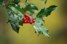 Closeup Of Red Berries On Ilex...