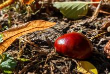 Chestnut Lies On The Ground Wi...