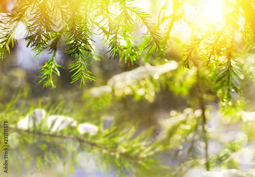 Winter bright background with snowy pine branches in the sun