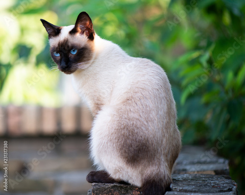 Fotomural  Siamese cat with blue eyes