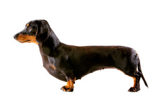 Miniature Dachshund Puppy In Show Pose, Side View On White Background
