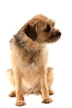 Border Terrier, Sitting Front ...